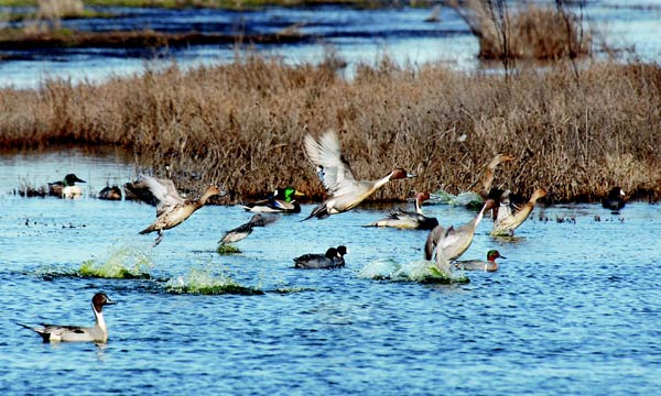 Ducks taking off from pond on Grizzly Island
