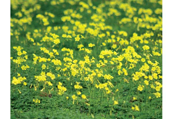 Yellow Flowering Oxalis