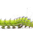 Caterpillar of the Giant Peacock Moth, Saturnia pyri