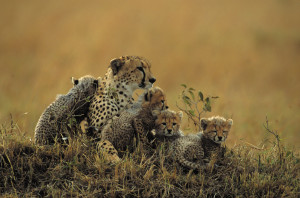 Cheetah mother with four cubs (Acinonyx jubatus) sitting on savannah, Kenya