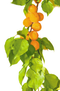 Apricot branch on a light background