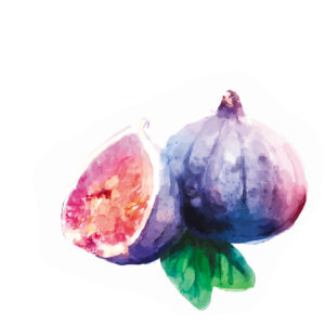 Vector hand drawn watercolor painting fruit fig on white background.