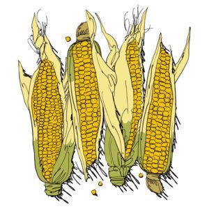 Alive media magazine july 2016 corn illustration market fresh peggy fallon