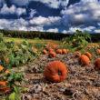 Pumpkins, Gardenias, and Raccoons